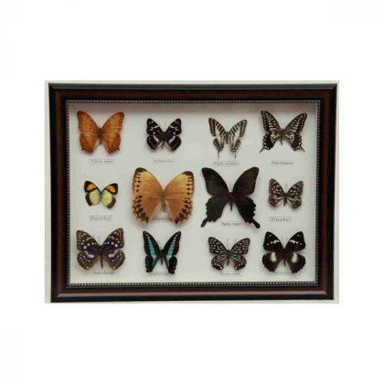 تابلو پروانه 12 گونه