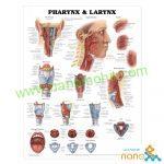 پوستر آناتومی حنجره و حلق Pharynx & Larynx poster