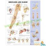 پوستر آناتومی شانه و آرنج Shoulder & Elbow poster