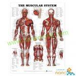 پوستر آناتومی عضلات The muscular system