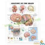پوستر آناتومی مغز Anatomy of the BRAIN