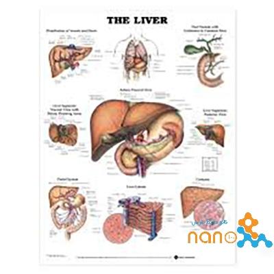 پوستر آناتومی کبد