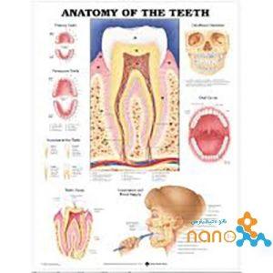 پوستر آناتومی دندان