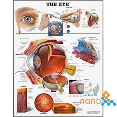 پوستر آناتومی چشم