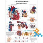 پوستر قلب انسان