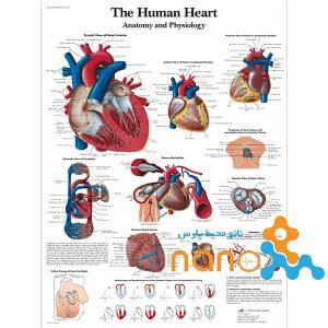 پوستر آناتومی قلب
