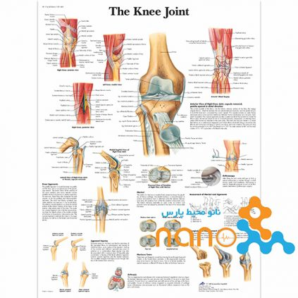پوستر مفصل زانو