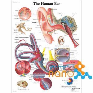 پوستر گوش انسان