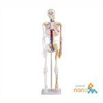 مولاژ اسکلت بدن انسان با نمایش قلب و عروق ۱/۲ اندازه طبیعی