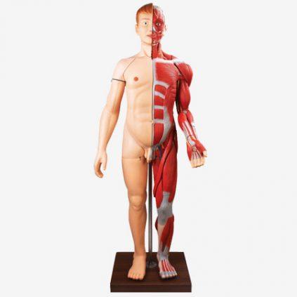مولاژ عضلات بدن با اندامهای داخلی
