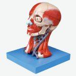 مولاژ سر با نمایش عضلات