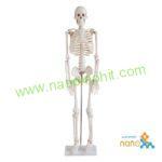 مولاژ اسکلت بدن انسان ۱/۲ اندازه طبیعی
