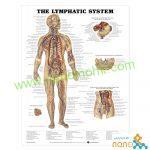 پوستر آناتومی سیستم لنفاوی The Lymphatic system poster